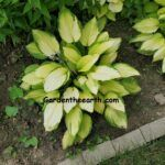 sun lightened hosta