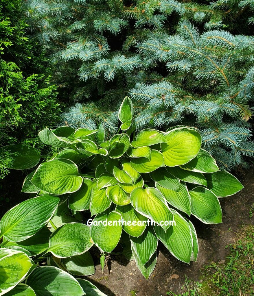 Yellow highlights on hosta contrast with blue pine